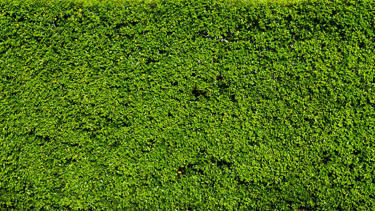 Nature Green Leaf Background And Textured, Leaves Wall Or Hedge