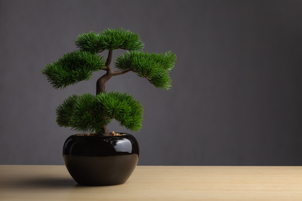 Bonsai On The Desk. The Backdrop Is A Dark Gray Background. The